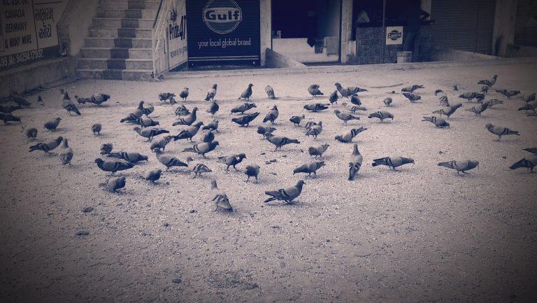 The Pigeons