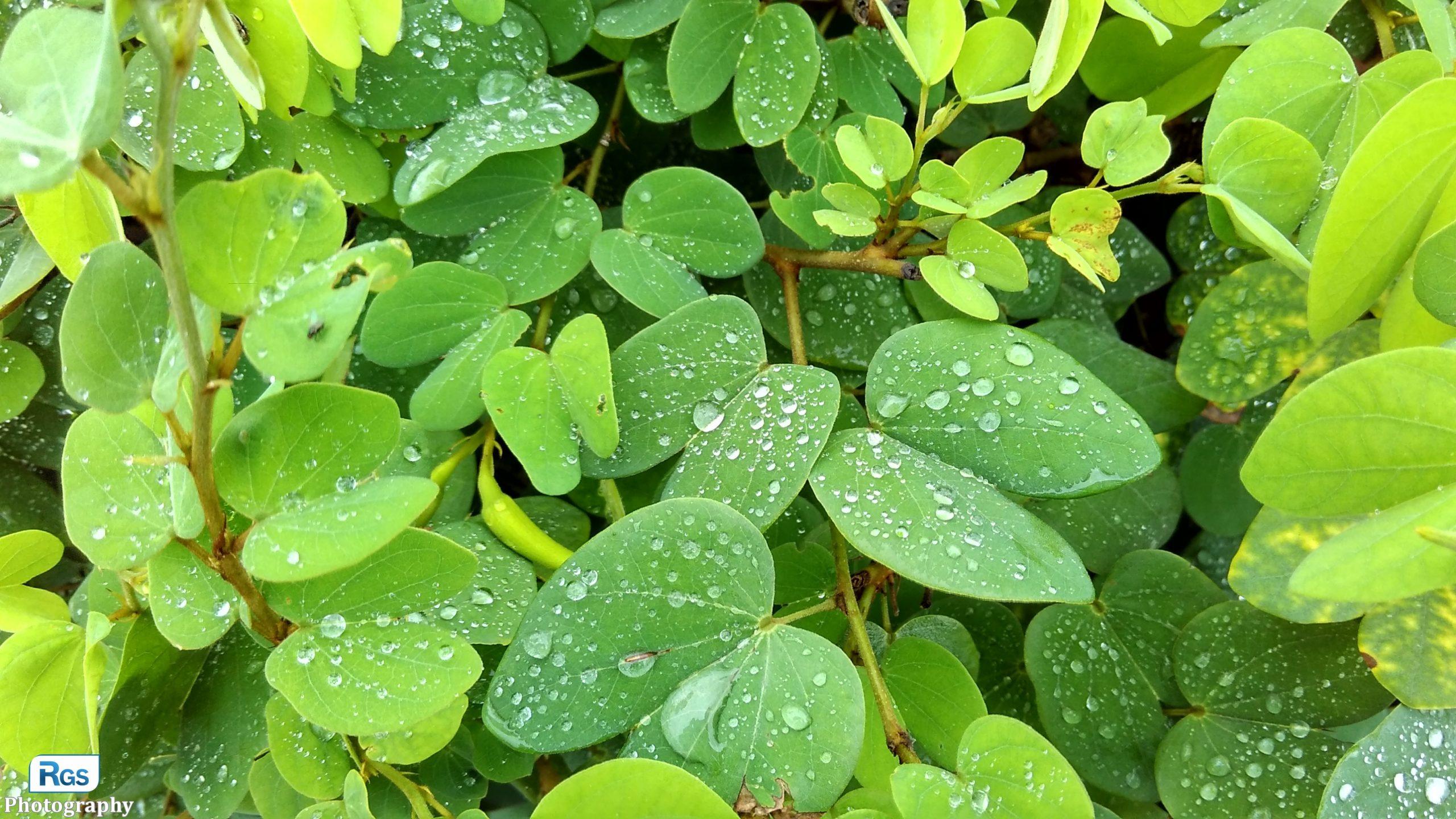 The Rain Drop on Leaf