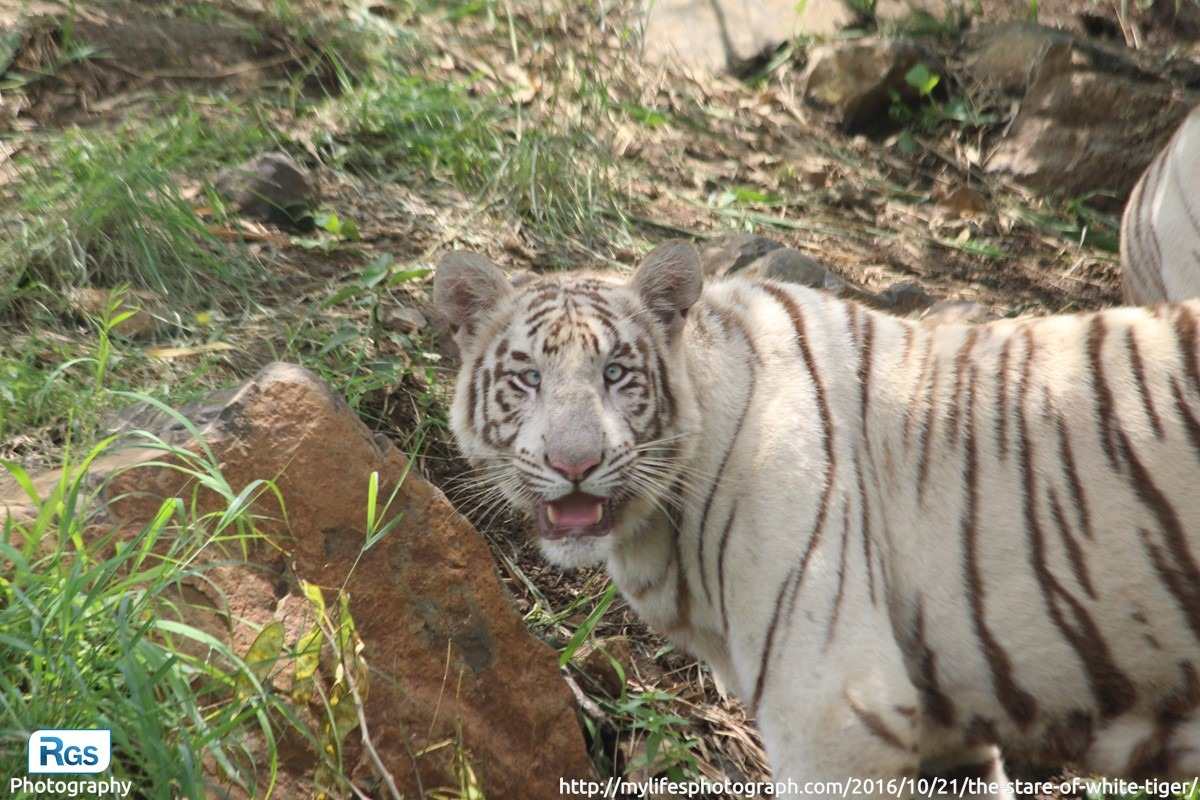 The Stare of White Tiger