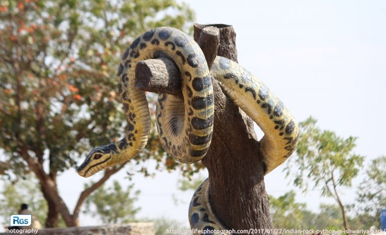 Rock python in ishwariya park