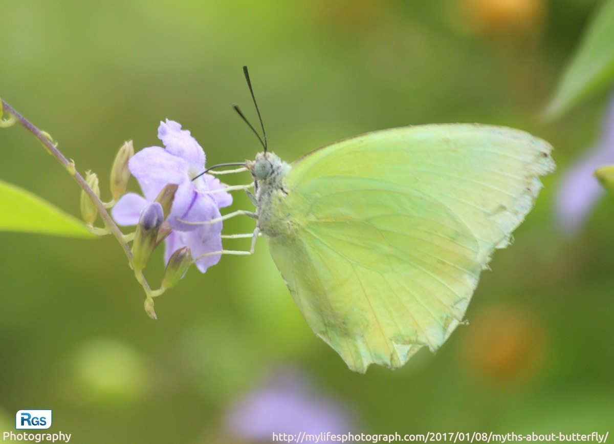 Yellow Butterfly – the symbol of Hope and Guidance