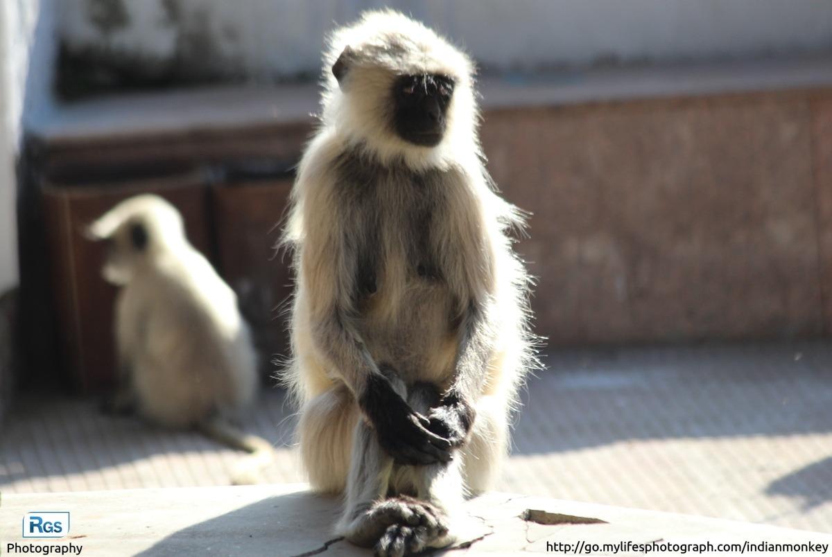 Silent Indian langur monkey