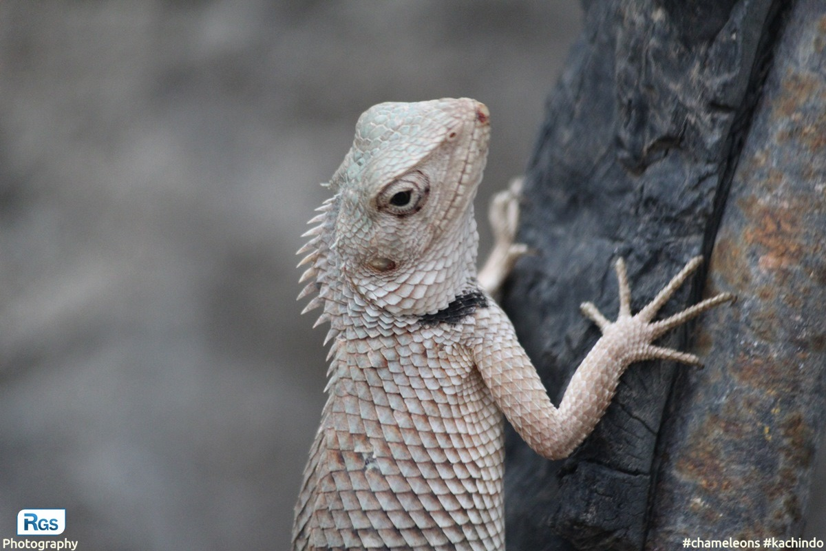 Indian Kachindo (Indian Chameleon)