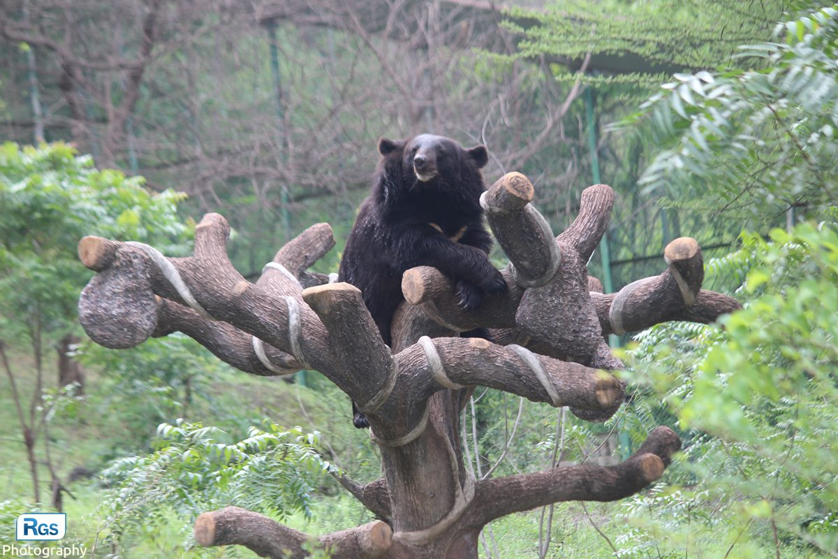 Asian black bear in pradyuman park
