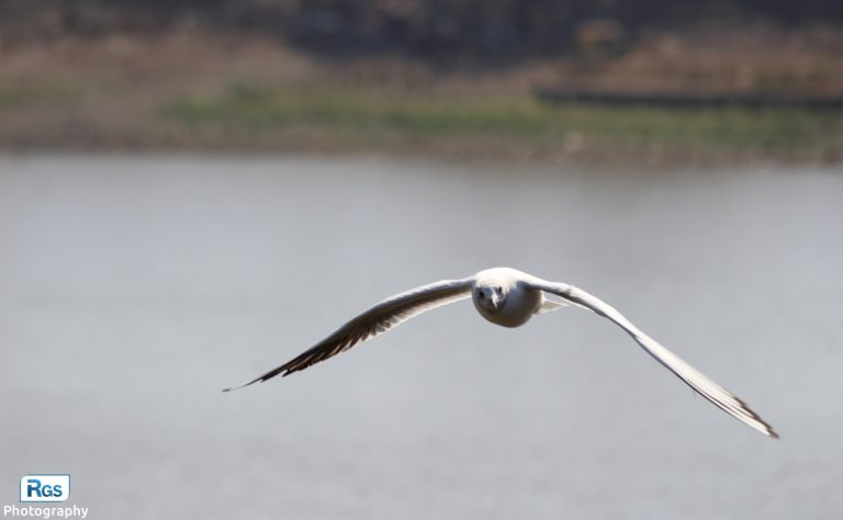 Natural photo of a flying seagull