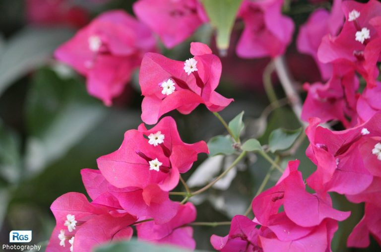 Royal Purple Bougainvillea Plant