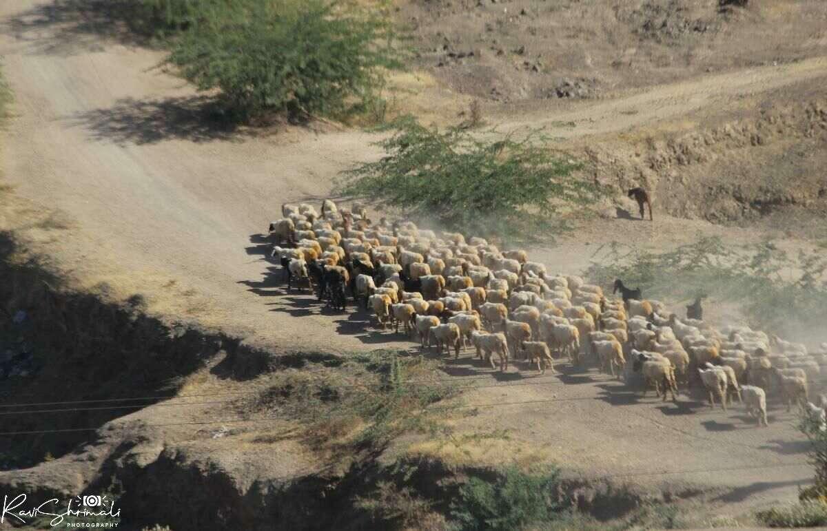Flock of Sheep Walking on Road